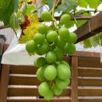【ブドウ栽培】初心者が3年目の巨峰を10粒だけ収穫!?野鳥に完敗!?